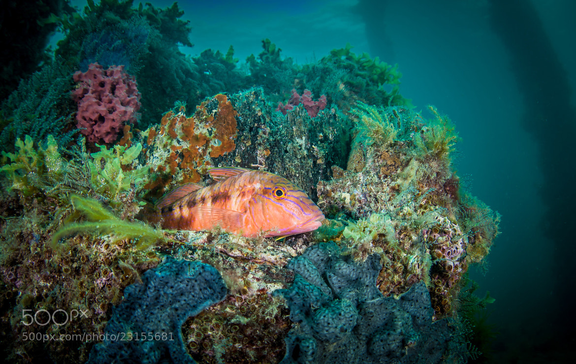 Photograph Day 380, One Colourful Goatfish by Robert Rath on 500px