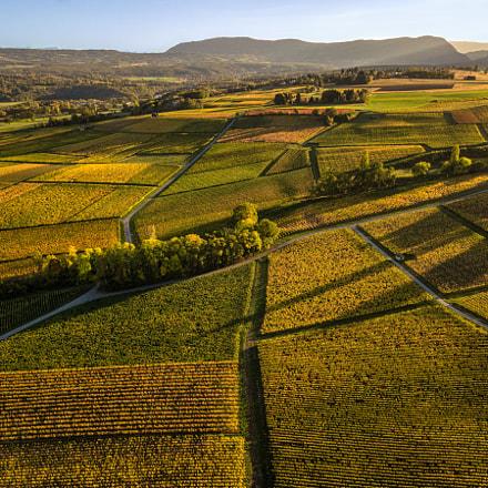 Dardagny vineyard