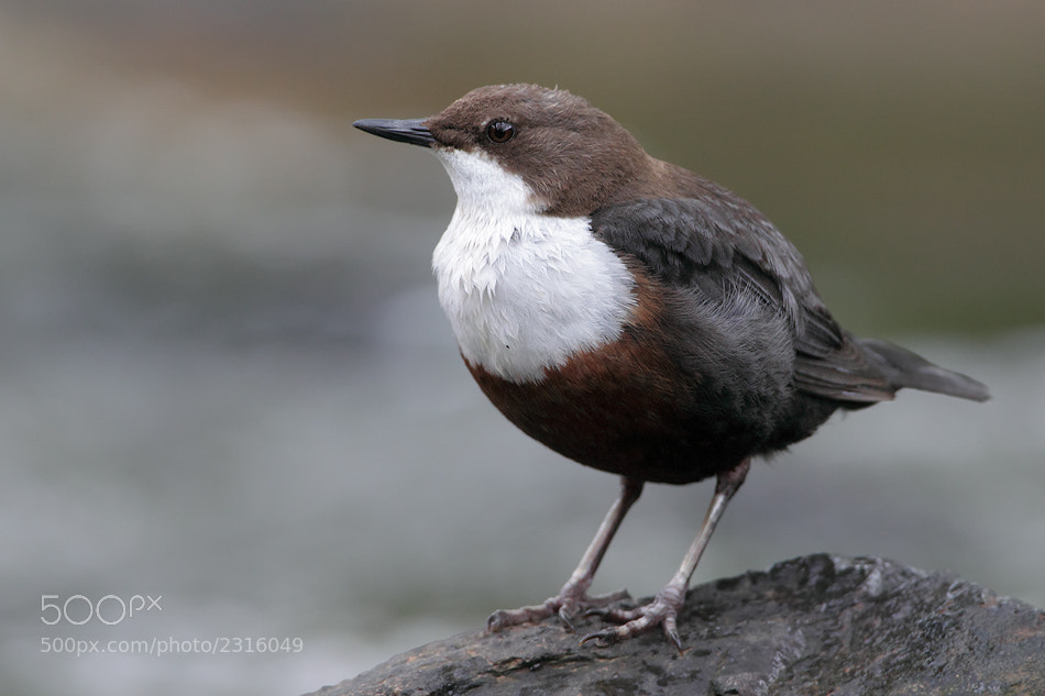 Photograph White-throated dipper by Christoph Mischke on 500px