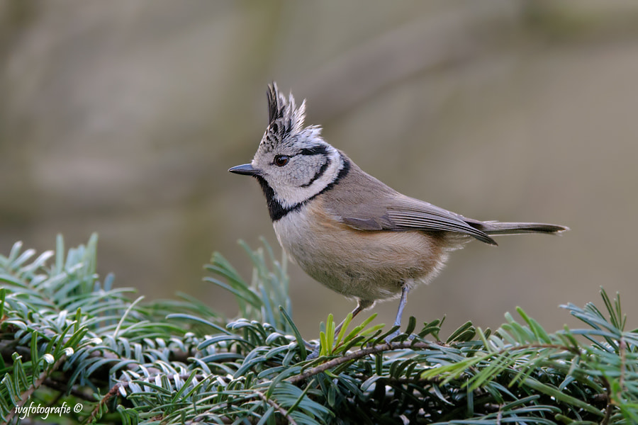 Photograph Crested tit by Ivonne van Gool on 500px