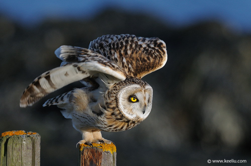 Photograph Short-eared Owl by Kee Liu on 500px