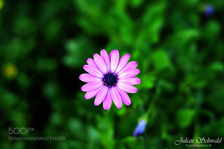 Photograph Violett Flower by Julian Schwald on 500px