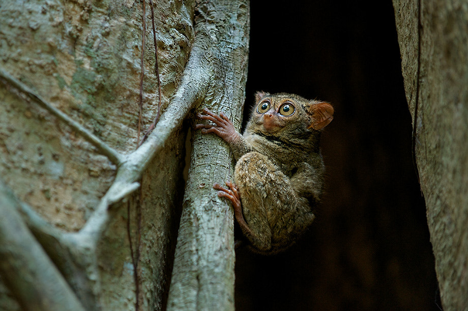 Photograph Spectral Tarsier by Sean Crane on 500px