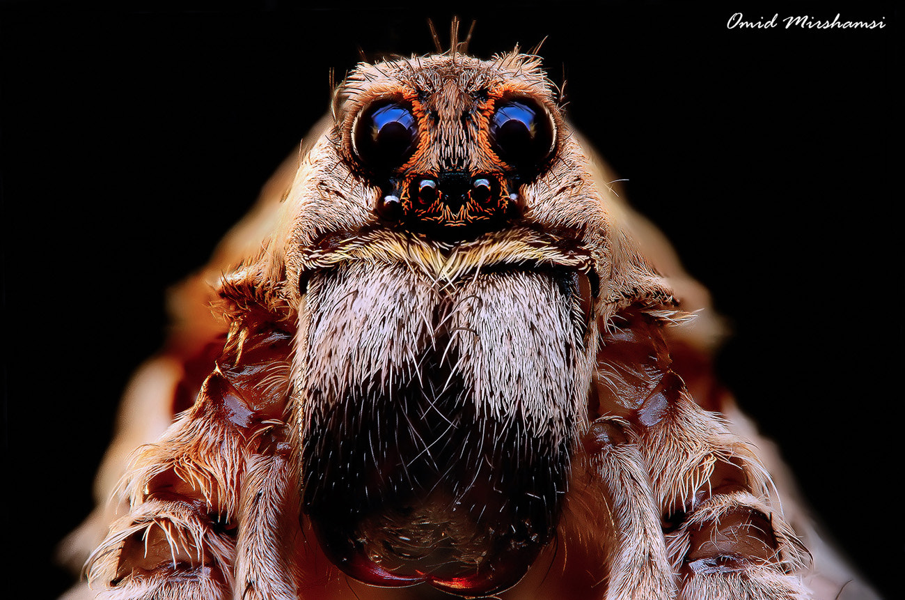 Photograph Wolf Spider by Omid Mirshamsi on 500px