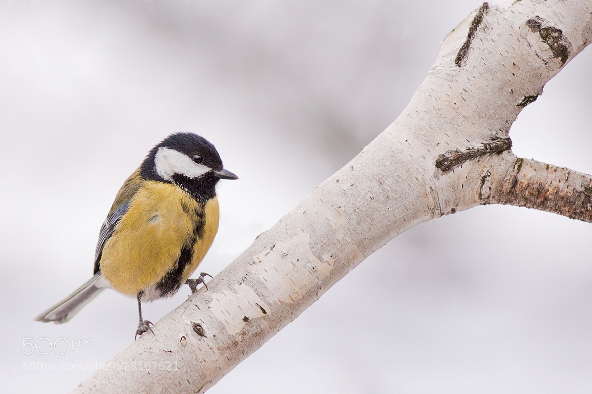 Photograph Parus major by Richard Krchnak on 500px