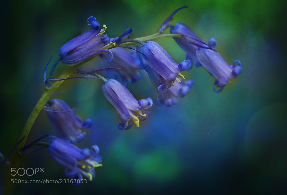 Photograph Bluebells by Ceri Jones on 500px