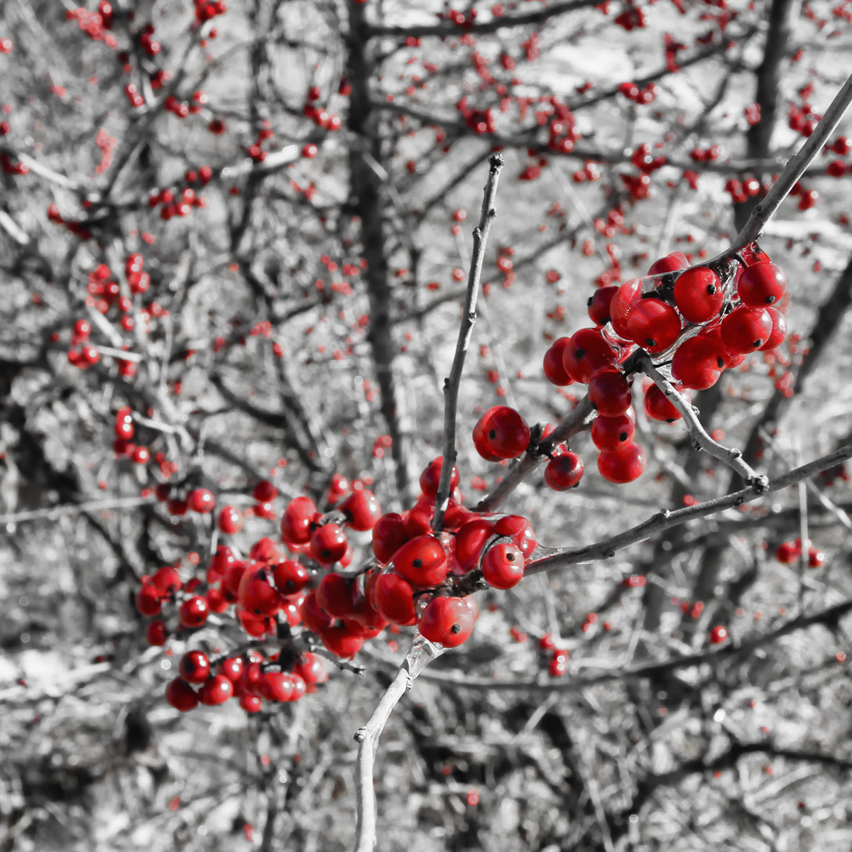 Photograph Holly Berries Shedding Ice by Jon Brisbin on 500px