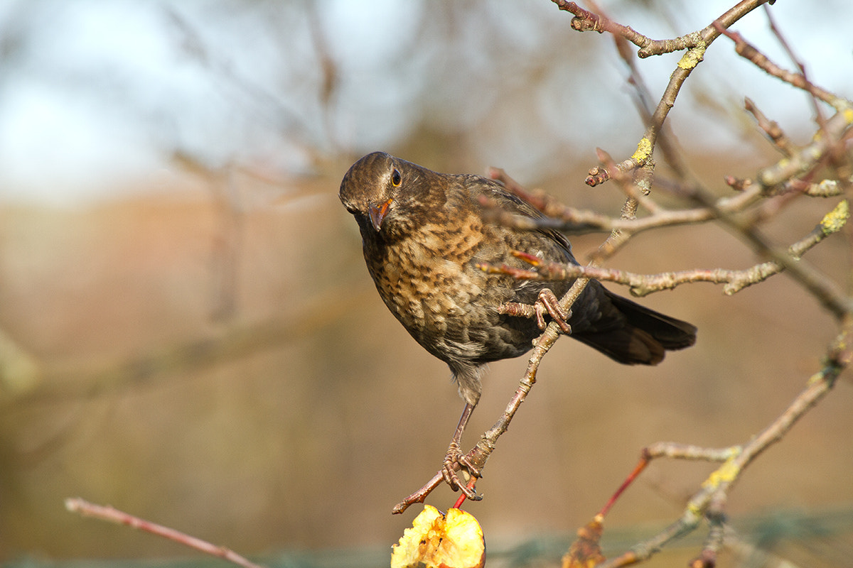 Photograph Amsel II by Erich Werner on 500px