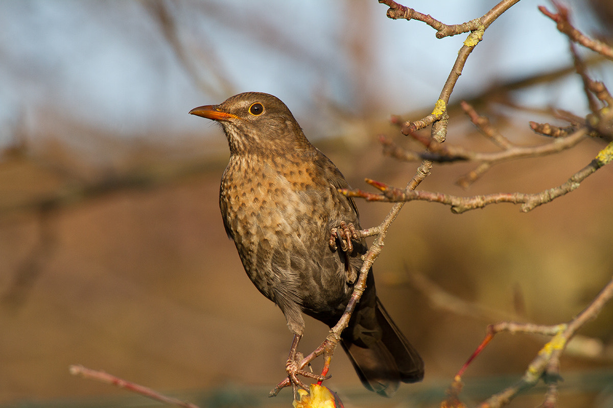 Photograph Amsel by Erich Werner on 500px