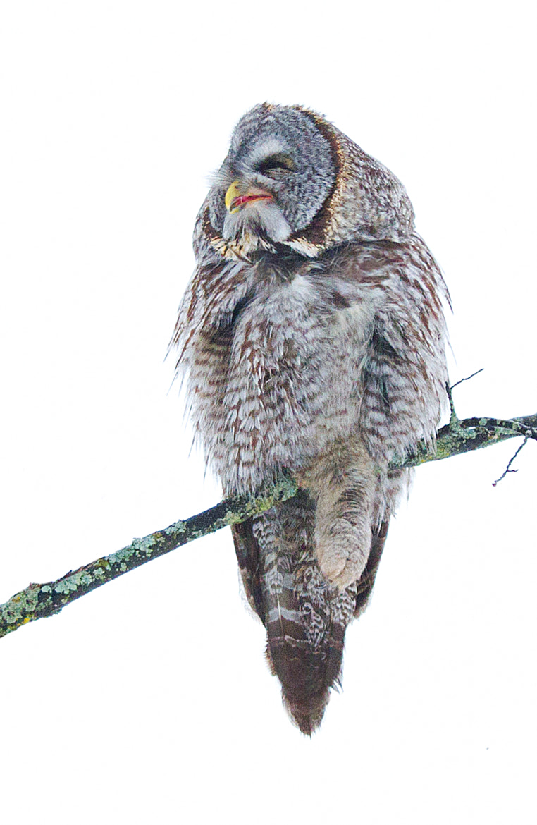Photograph Just chill in - Great Grey Owl by Jim Cumming on 500px