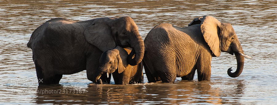 a group of three Elephants taking a well deserved brake in the Luangwa river.