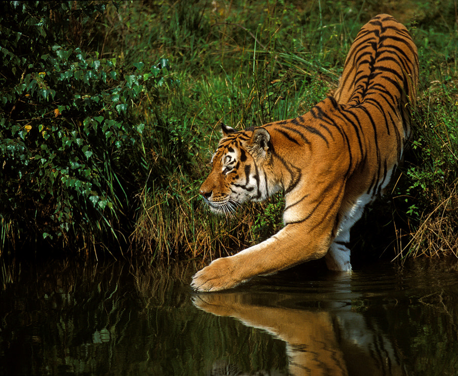 This time an image out of the old, taken August the 21th 2001, analog box :-) Siberian aka Amur Tiger (Panthera tigris altaica) trying the watertemperature .Made in Safaripark, so no wildlife this time, The Beekse Bergen.The Netherlans.  Shot on Fuji Velvia ISO 50 slide film and scanned with the Nikon Coolscan 4000ED. Best regards, Harry