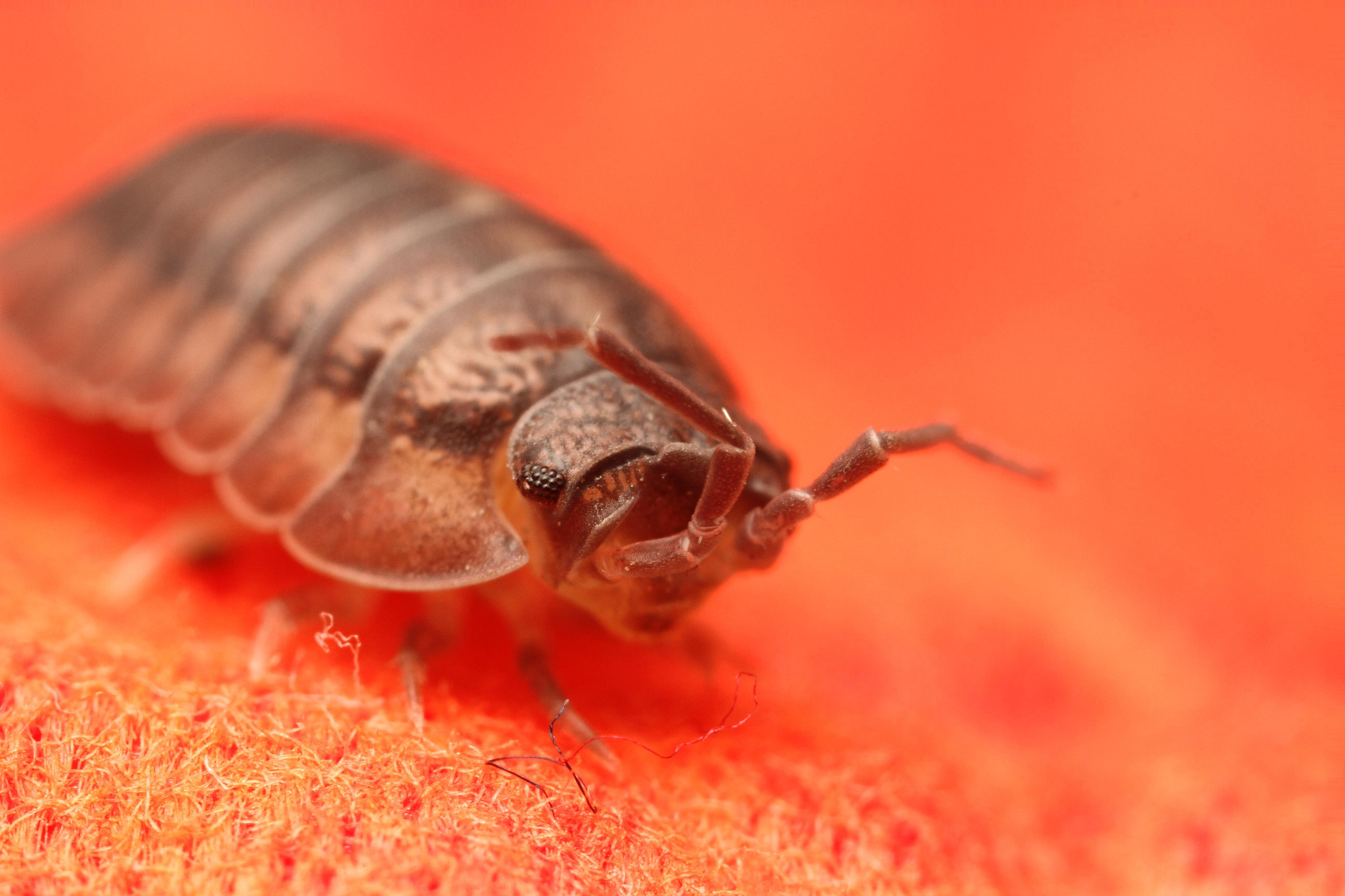 Photograph Pill Bug by Benjamin Puppel on 500px