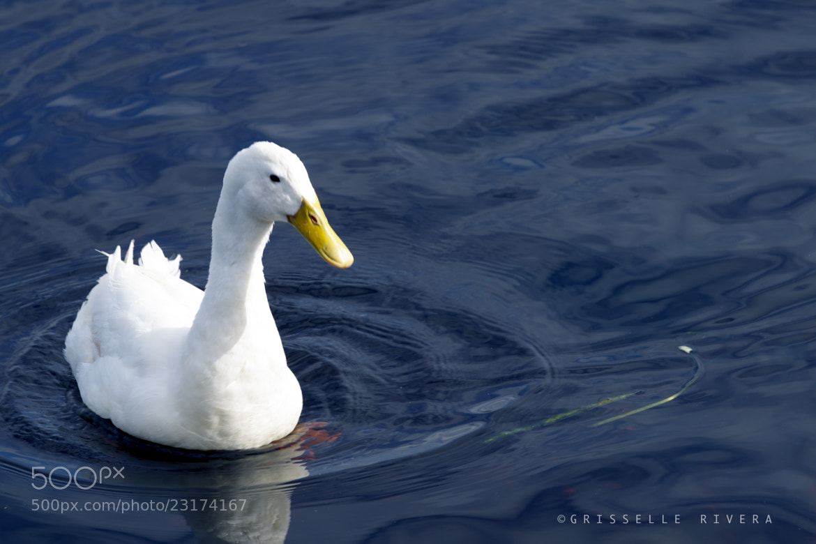 Photograph WHITE DUCK by Grisselle Rivera on 500px