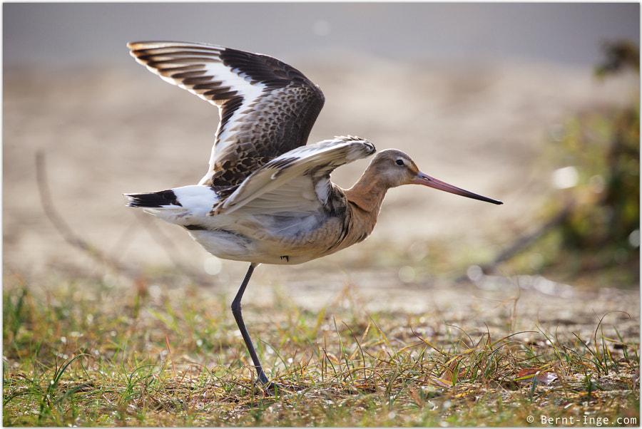 Black-tailed godwit / Svarthalespove by Bernt-Inge Madsen on 500px.com