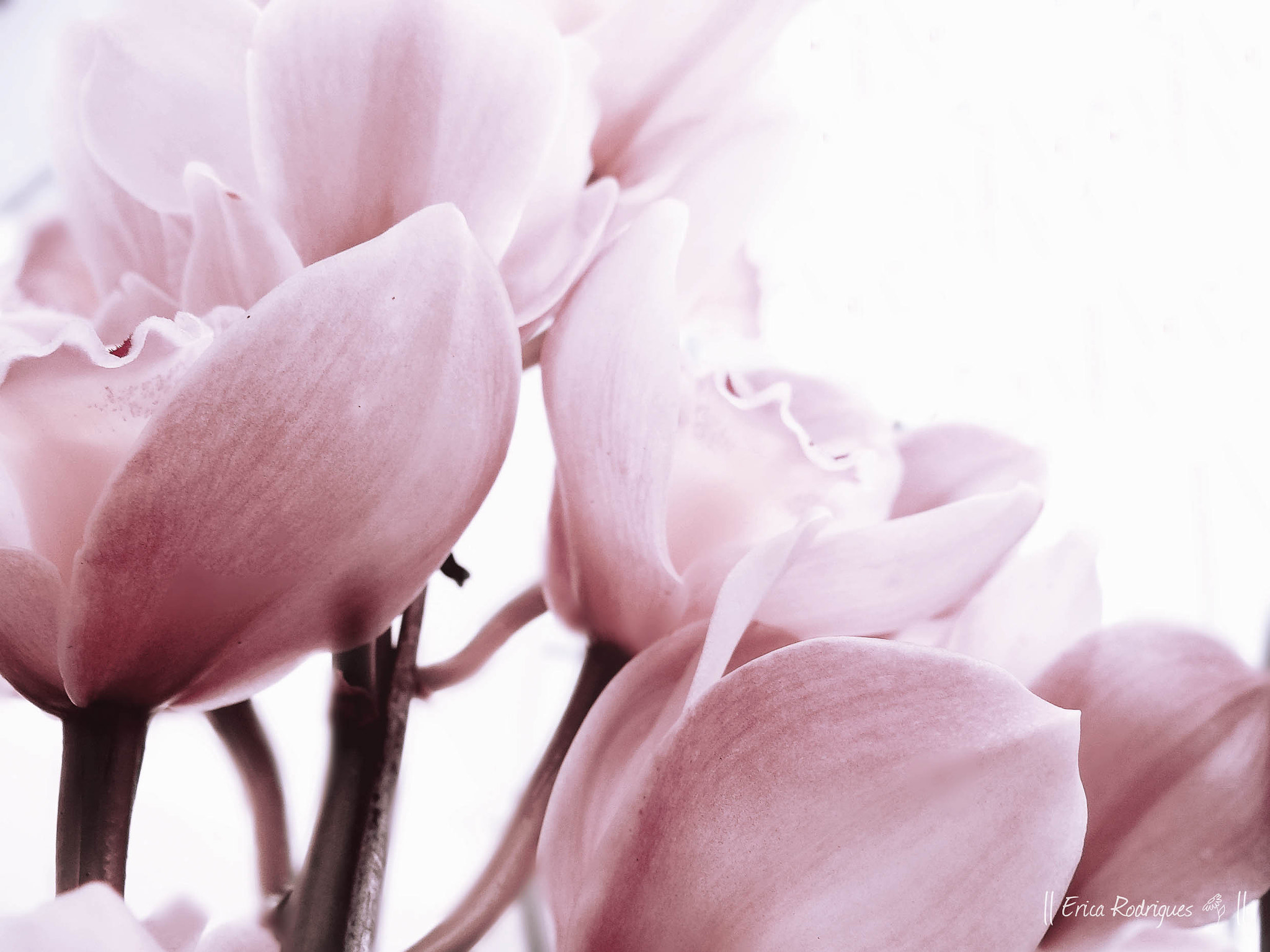 Photograph Pink by Erica Rodrigues on 500px