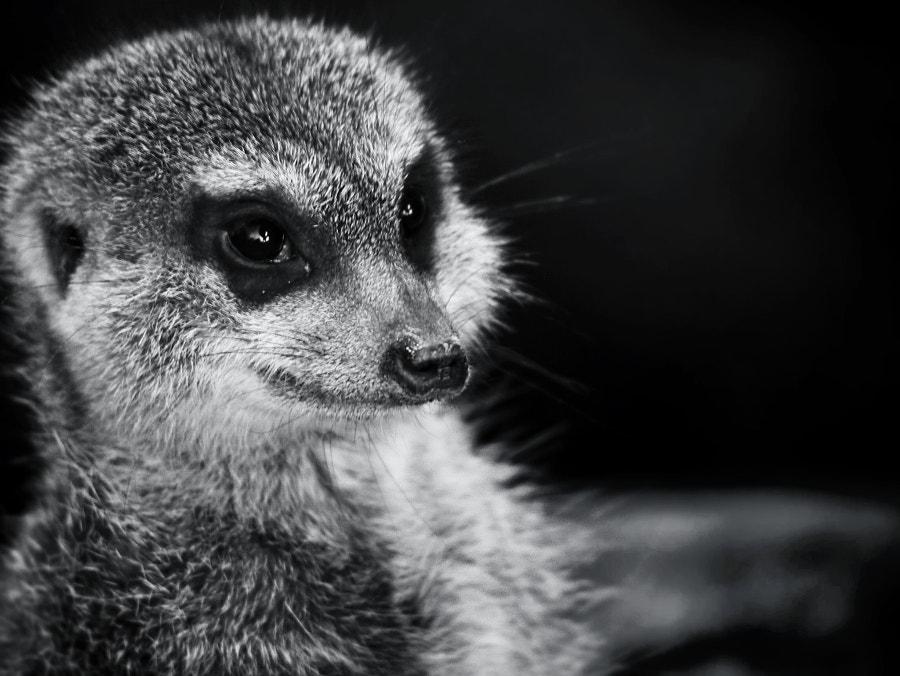 meerkat :: Erdmännchen