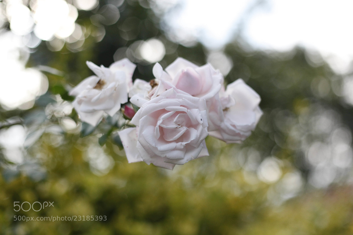 Photograph Rose by rnkvnm on 500px