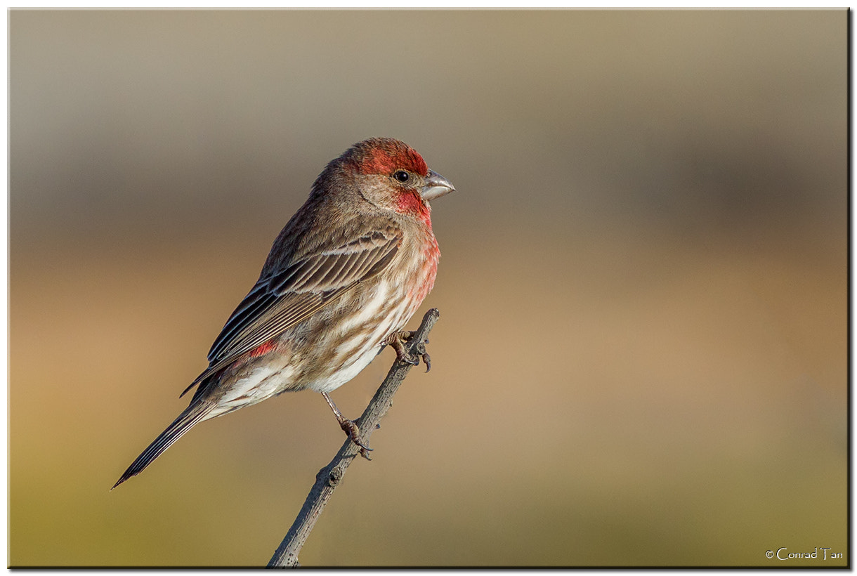 Photograph House Finch by Conrad Tan on 500px