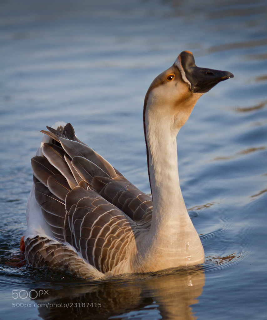 Photograph Proud Swan Goose by Boris-HD Photo on 500px