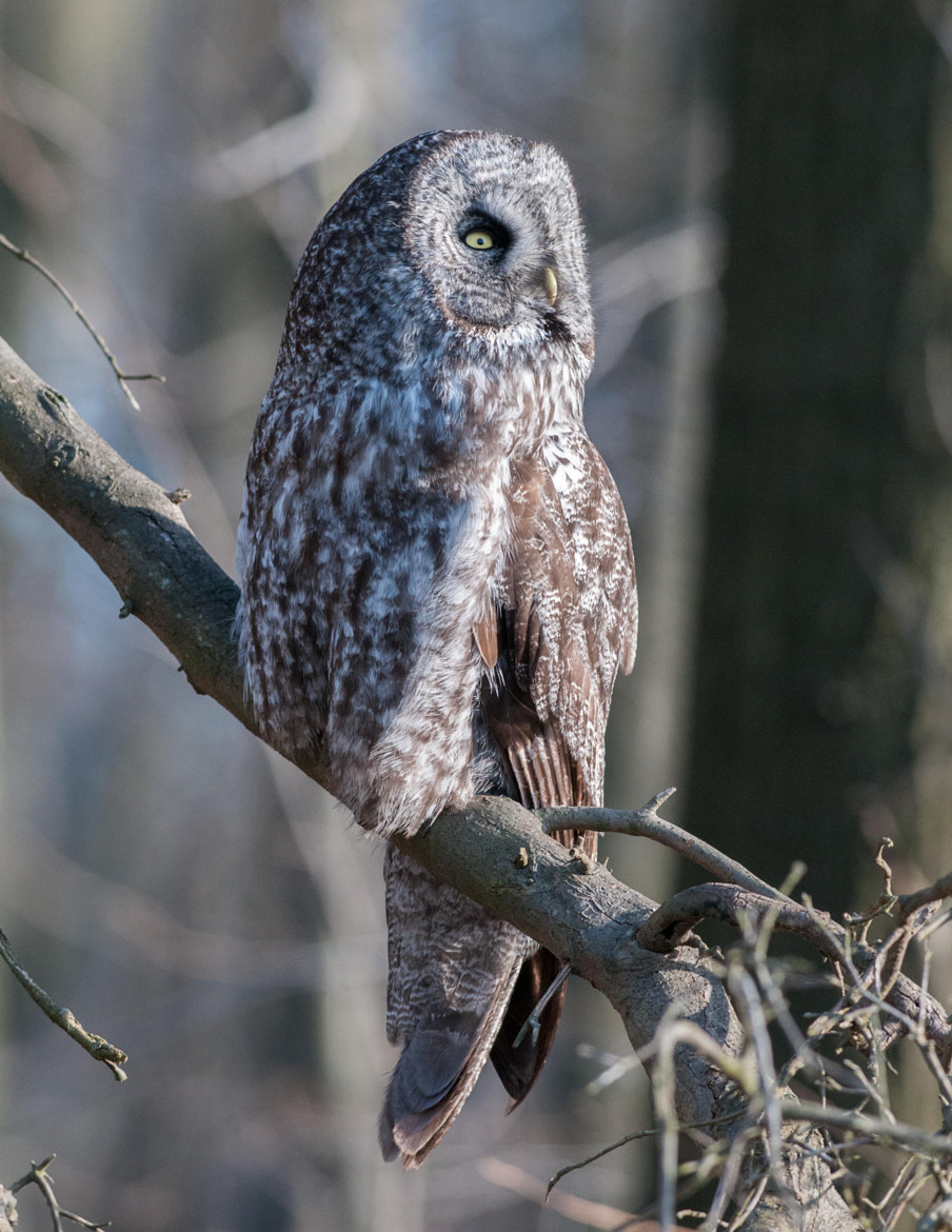 Photograph Great Gray Owl by Mike Bolger on 500px