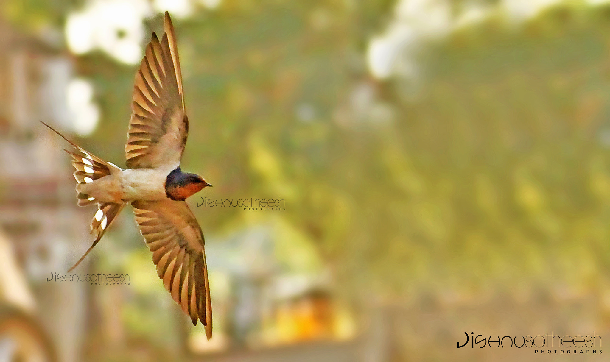 Photograph Barn Swallow in flight by Jishnu Satheesh Babu on 500px