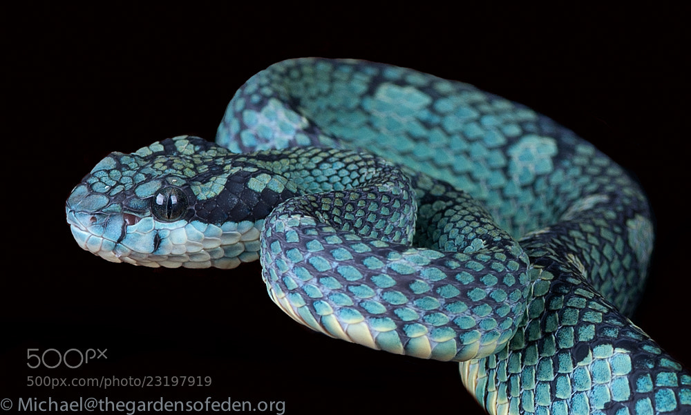 Photograph Trimeresurus trigoncephia -Sri Lanka Bamboo Viper by Michael Kern on 500px