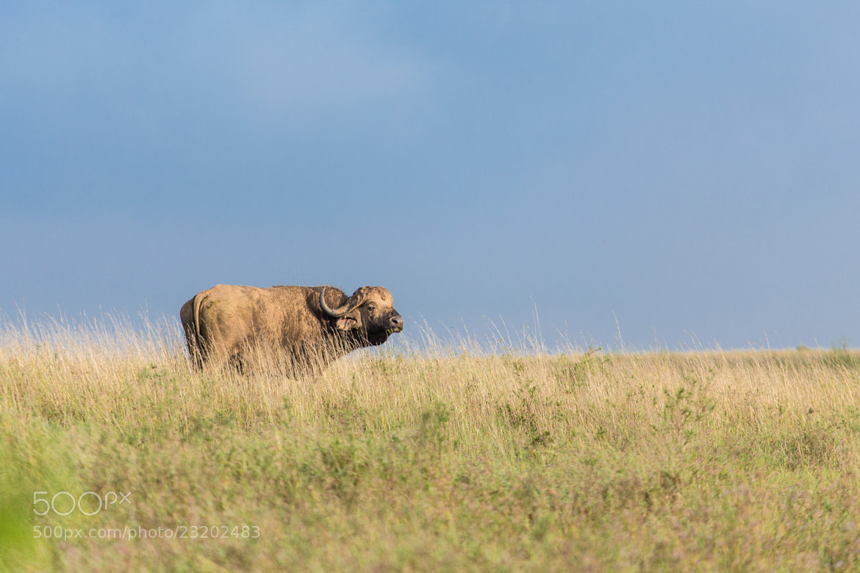 Photograph Buffalo in the wild by Dereje Belachew on 500px