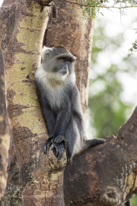Photograph Monkey on a tree by Dereje Belachew on 500px