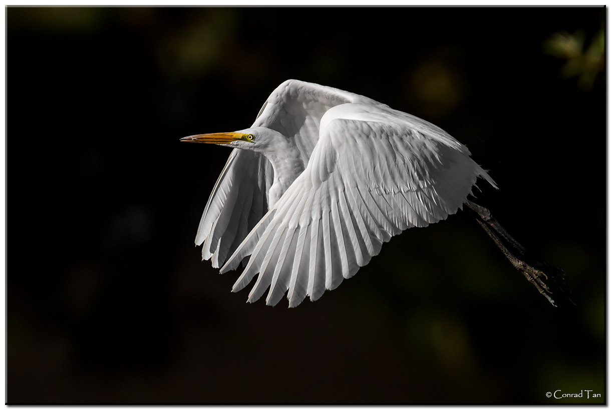 Photograph Great White Egret by Conrad Tan on 500px