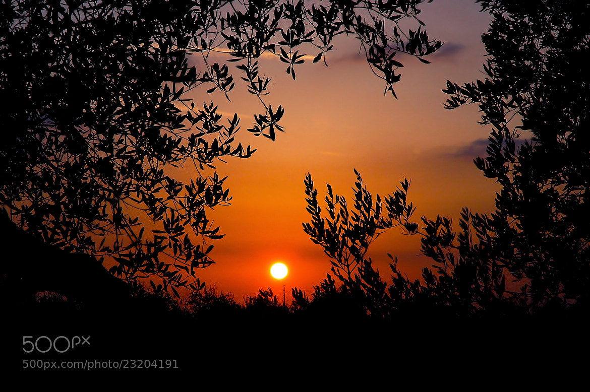 Photograph Sunset between the olive trees by Giuliana Angelucci on 500px
