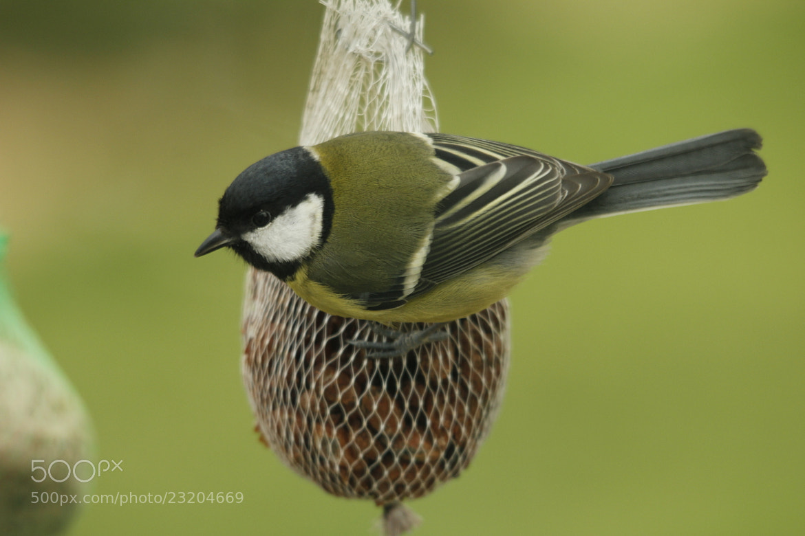 Photograph Great Tit by Greta Dierckx on 500px