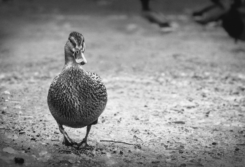 Photograph Duck by Alex Matus on 500px