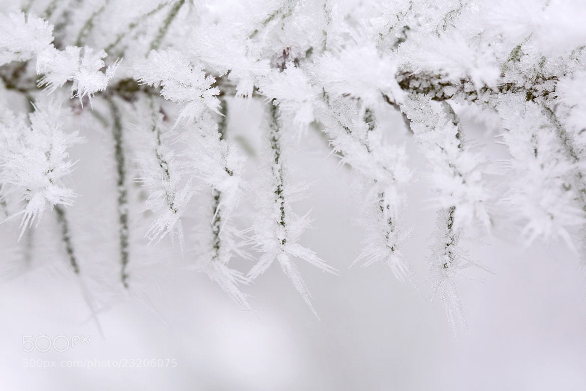 Photograph Hoary Tendrils  of Winter by Renae Smith on 500px