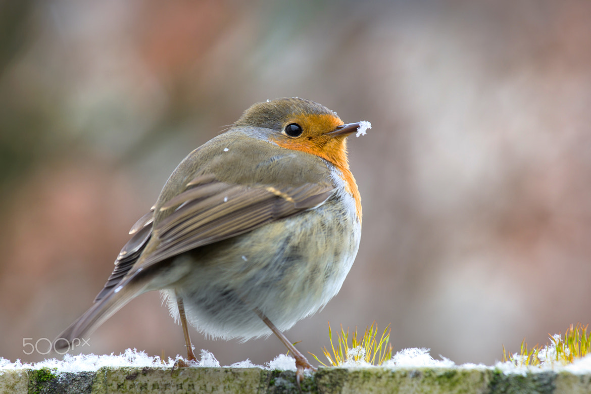 Photograph Robin in the snow by Teuni Stevense on 500px