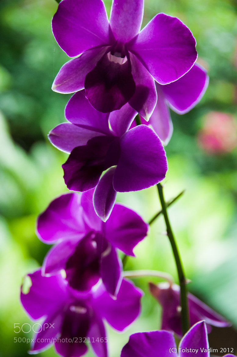 Photograph Violet beauty by Vadim Tolstoy on 500px