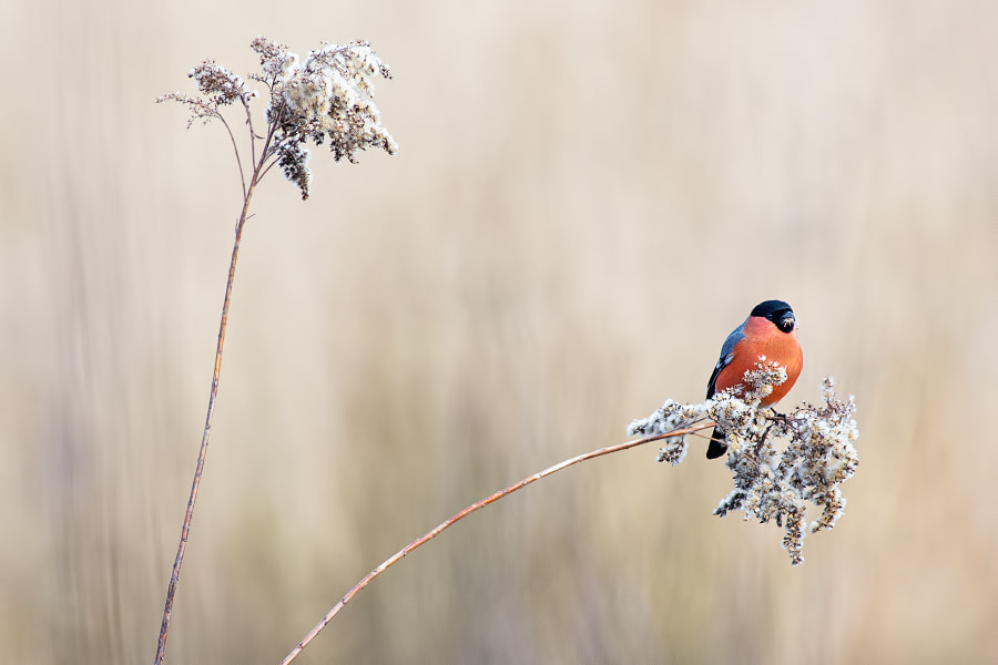 Photograph Bullfinch 3 by Stéphane ABCDEF on 500px