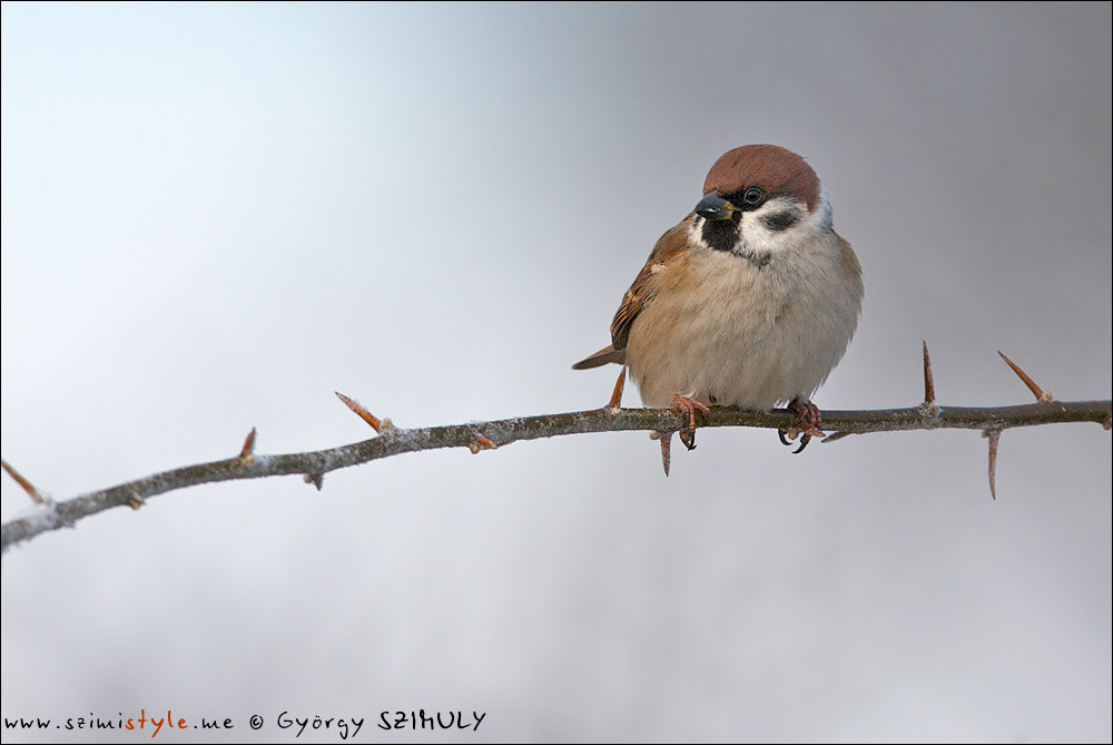 Photograph Eurasian Tree Sparrow (Passer montanus) by Gyorgy Szimuly on 500px