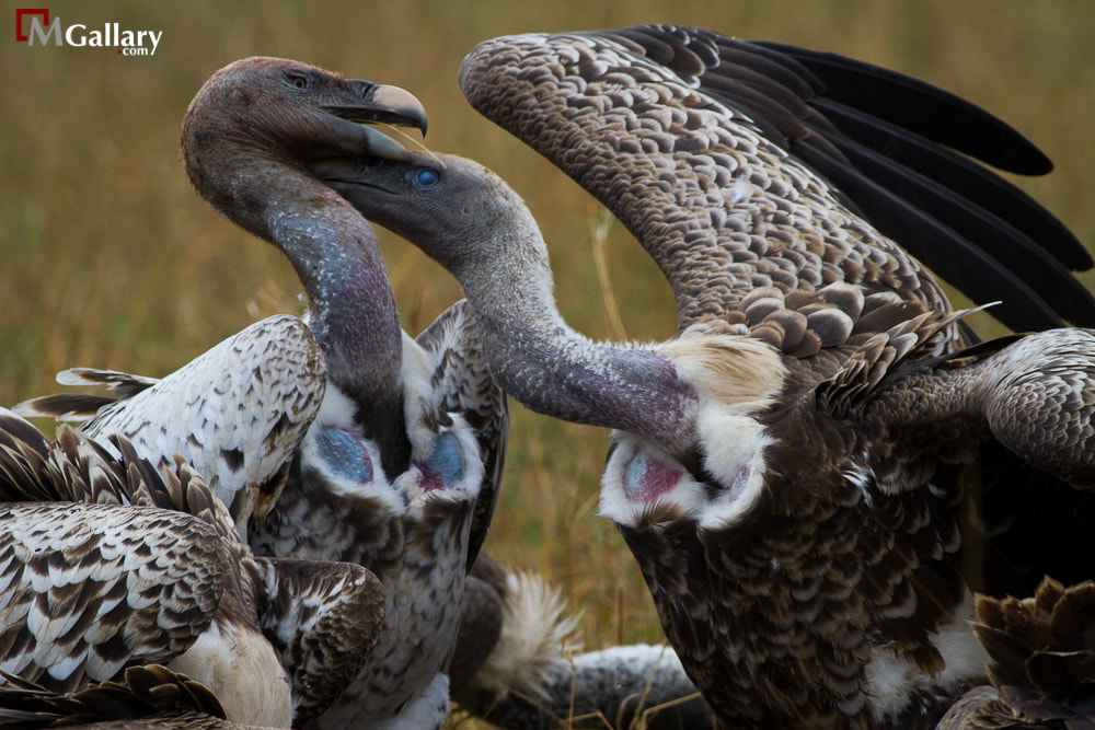 Photograph Vultures Fight by Dr.Mohammed Alkandari on 500px