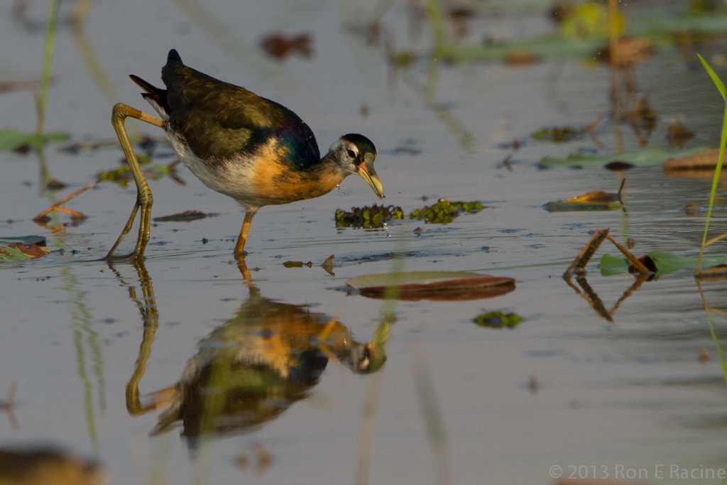 Photograph Bronze-Winged Jacana by Ron E Racine on 500px
