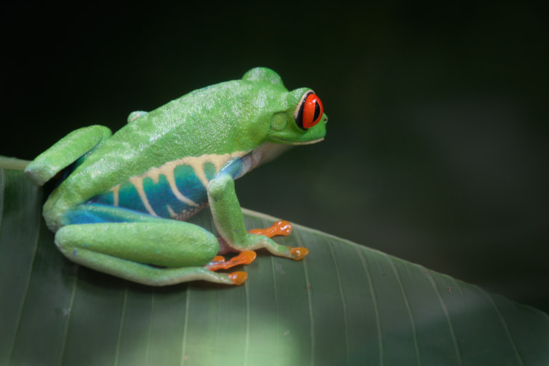Photograph The red-eyed tree frog by Edgar Monzón on 500px