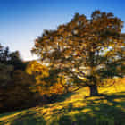 Old oak tree in autumn light