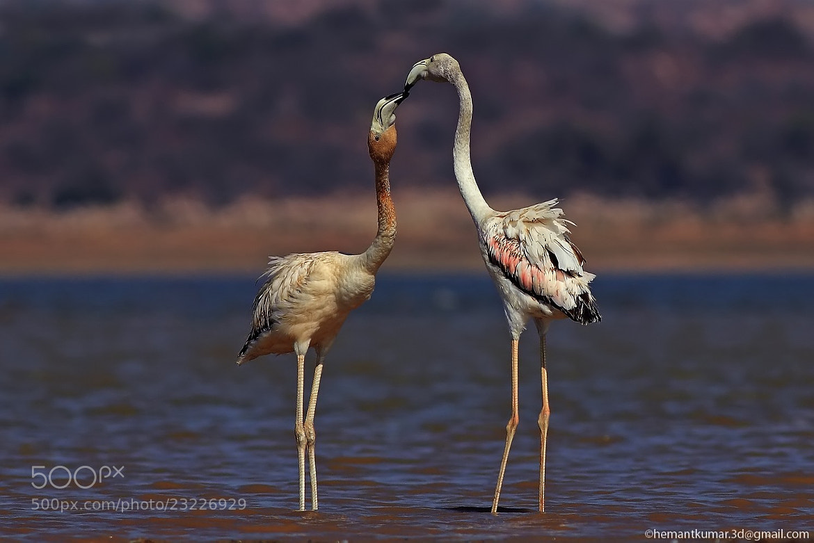 Photograph Flamingo by Hemant Kumar on 500px