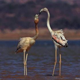 Flamingo by Hemant Kumar (HemantKumar)) on 500px.com