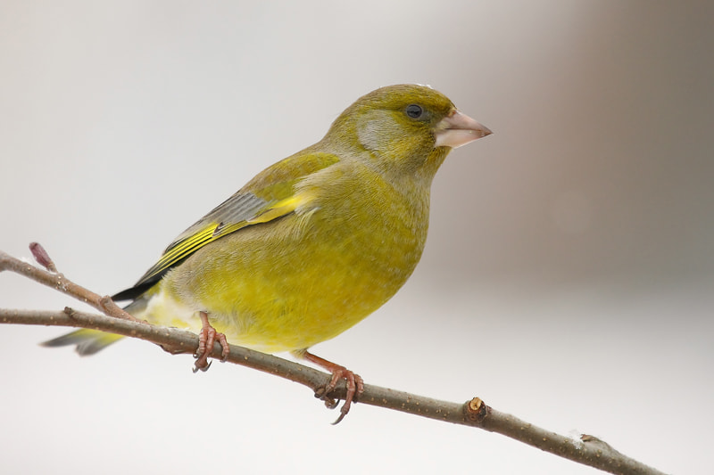Photograph Greenfinch by theo dierckx on 500px