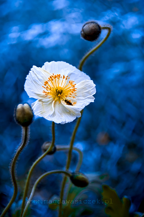 Photograph The poppy in blue by Magda Wasiczek on 500px