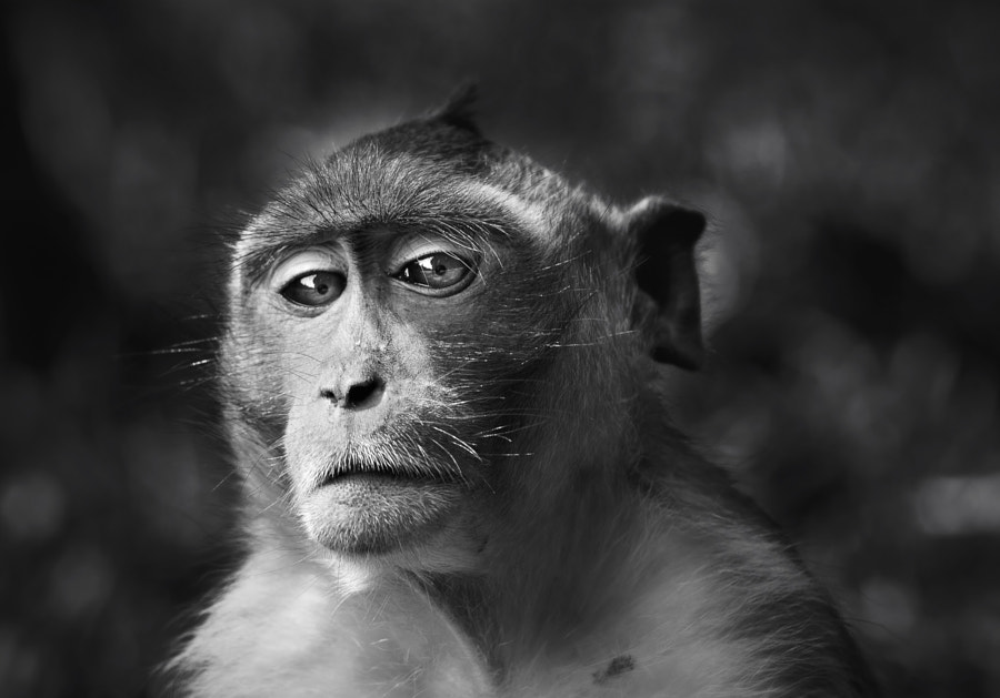 Portrait of a monkey by Sebastian-Alexander Stamatis on 500px.com
