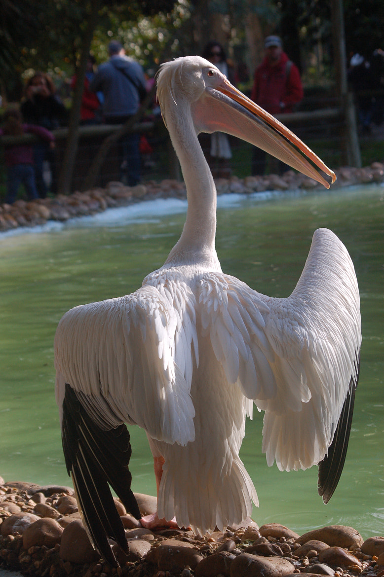 Photograph Pelican by Nuno Vicente on 500px
