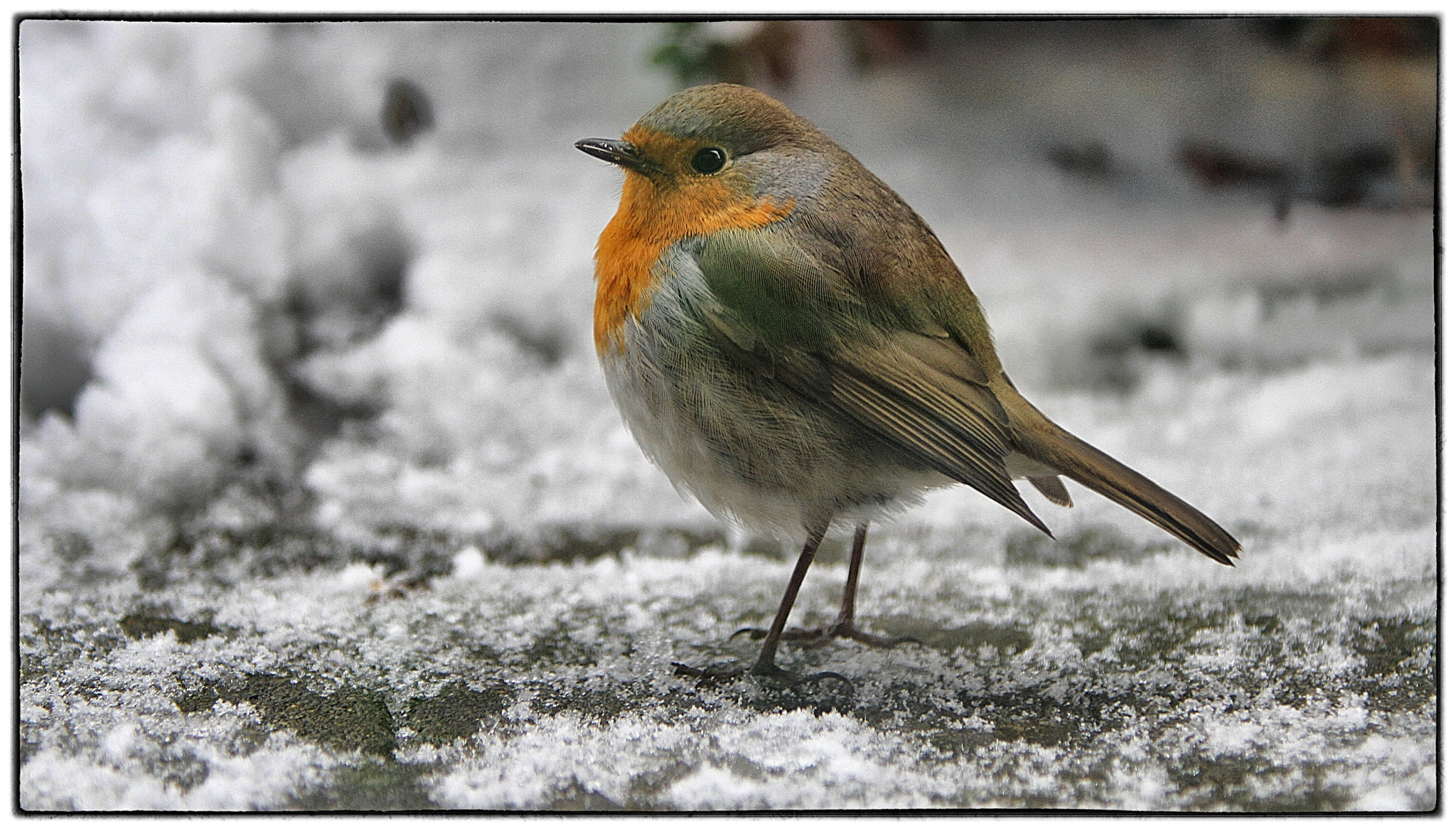 Photograph Robin in the snow by Koen Domus on 500px