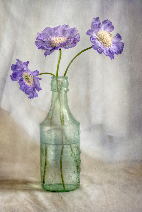 Photograph Scabiosa by Mandy Disher on 500px